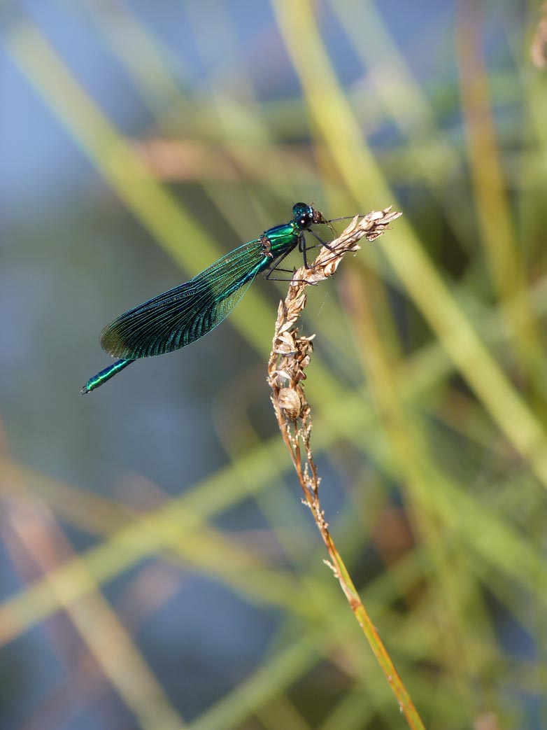 Calopteryx splendens, demoiselle